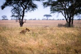 Lioness Hunting a Warthog.