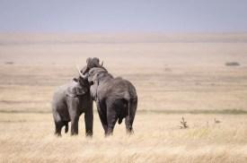 Bull Elephant challenge
