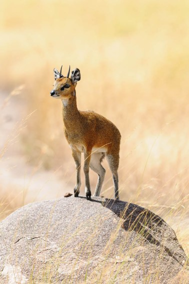 Klipspringer on the rock