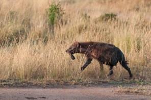 Greedy Hyena with Zebra hoof