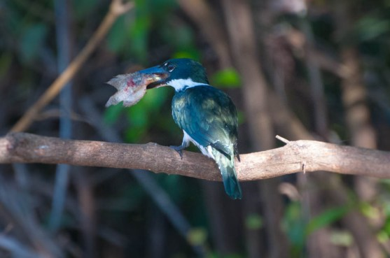 Amazon Kingfisher with his catch