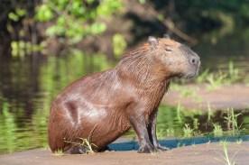 Chillin' Capybara