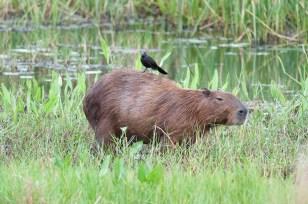 Capybara tolerating a Cowbird