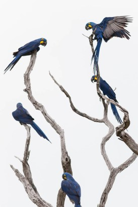 Five Hyacinth Macaws