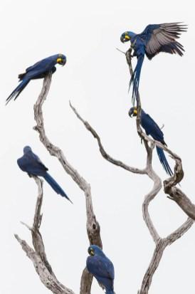 Five Hyacinth Macaws