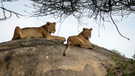 Young lions on the kopje