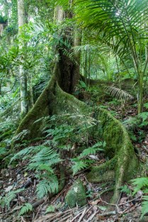 Large buttress roots support the trees in the shallow rainforest soil