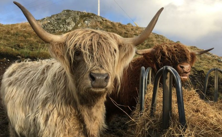 These Highland Cows (Coos) are local