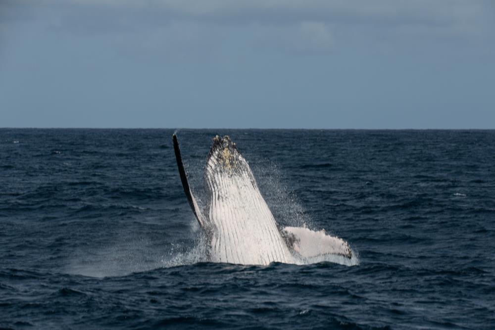Humpback Whales Migration