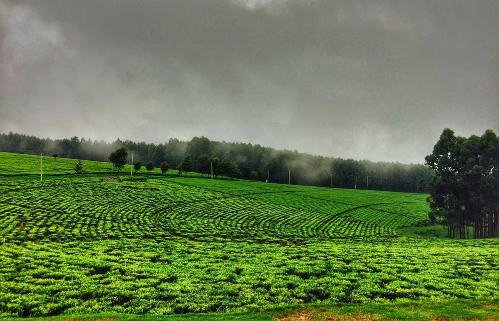 Tea_Farm_Kenya
