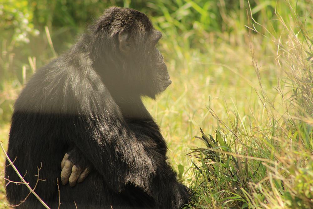 Ol_pejeta_Chimp_Sanctuary