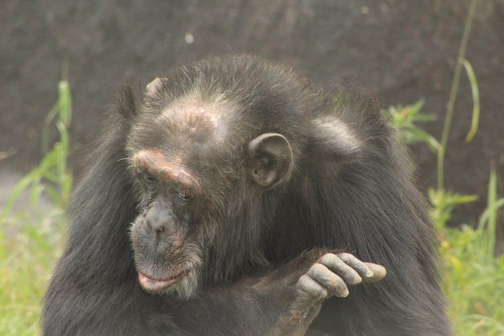 Sweetwaters_Chimp_Sanctuary
