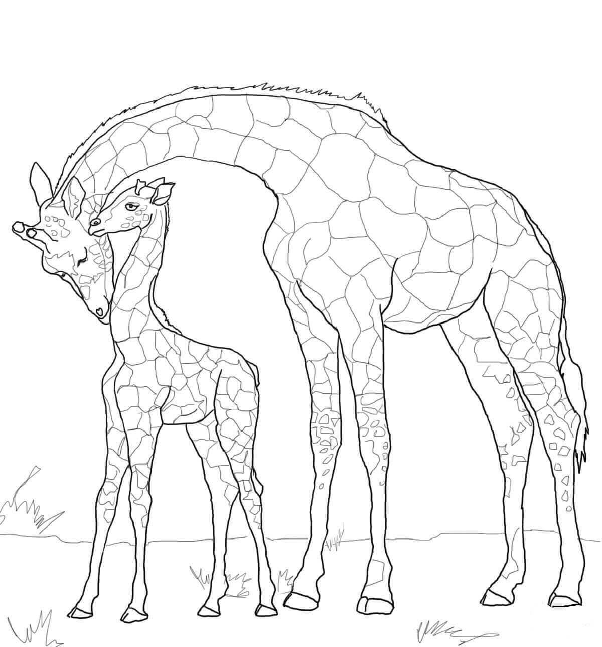 Baby Giraffe With Mother Giraffe