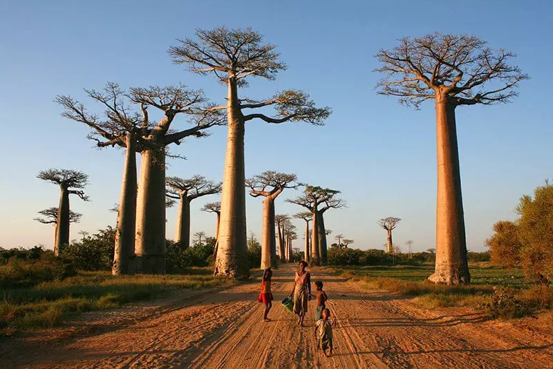 Avenue of the Baobabs, Madagascar.