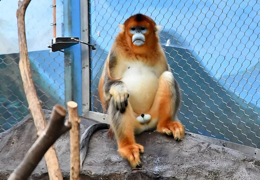 Sichuan Golden Snub-nosed monkey at Ocean Park Hong Kong.