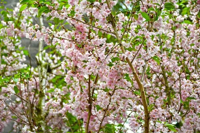 Sakura Blooms at Gardens by the Bay, Singapore.