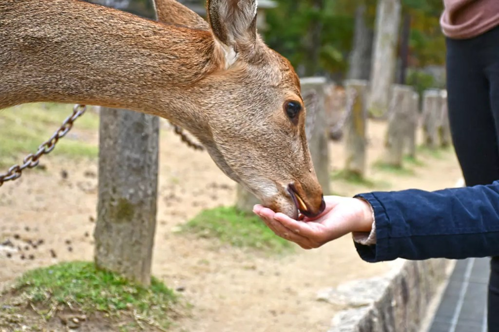 Nara Deer eating crackers.