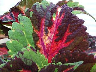 Garden-coleus_leaf1