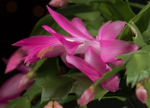 Thanksgiving Cactus Flower