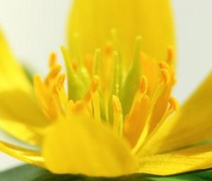 Eranthus Flower