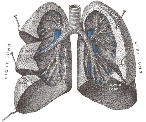 a cosa servono i polmoni