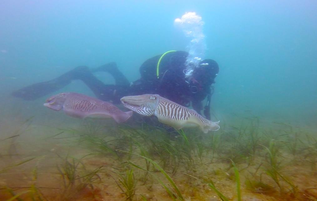 Brixham Cuttlefish