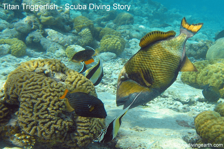 Titan Triggerfish - Scuba diving story of the Titan Triggerfish breeding season