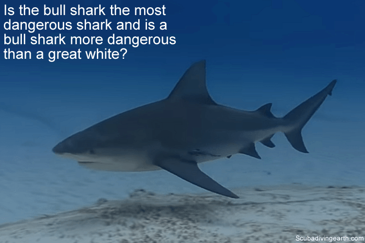 Is the bull shark the most dangerous shark and is a bull shark more dangerous than a great white