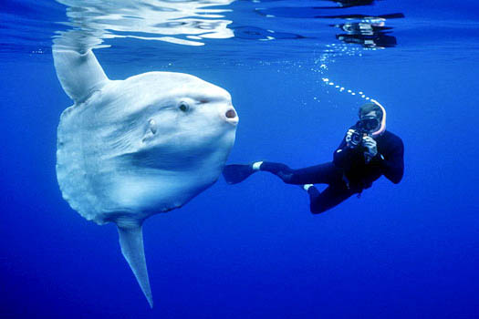 Image result for dive sunfish bali