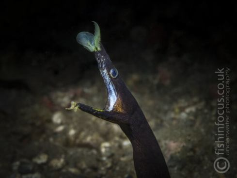 Ribbon eel, Mario Vitalini, fishinfocus, Scuba Travel