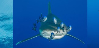 Oceanic whitetips, Hurricane, Scuba Travel, Shark Quest Photography, Mario Vitalini, fishinfocus