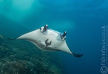 fishinfocus, Scubatravel, Manta