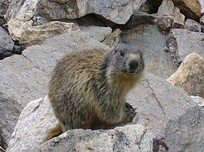 La marmotta Carlotta