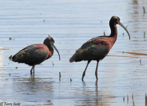 White-faced Ibis - Plegadis chihi