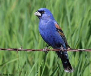 Blue Grosbeak - Male -  Passerina caerulea
