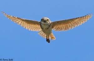 Burrowing Owl - Hovering - Athene cunicularia