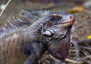 Iguana - St. John's, Virgin Islands
