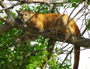 Mountain Lion - Puma concolor
