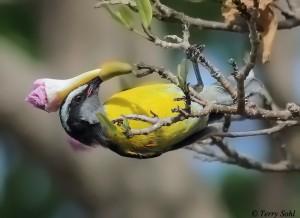 Bananaquit - Coereba flaveola