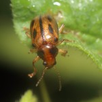 Leaf Beetle - Paria Species - Photo