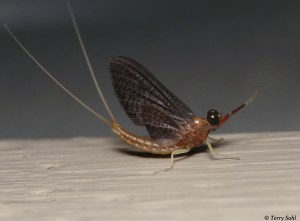 Mayfly photo - macro photography by Terry Sohl