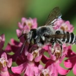 Leafcutter Bee - Megachile