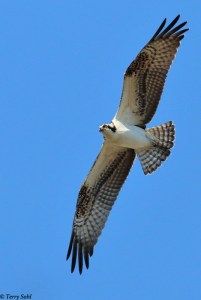 Osprey in flight - Pandion haliaetus
