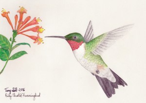 Ruby-throated Hummingbird Drawing - By Terry Sohl