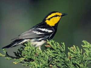 Golden-cheeked Warbler - Setophaga chrysoparia