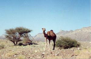 United Arab Emirates - Camel