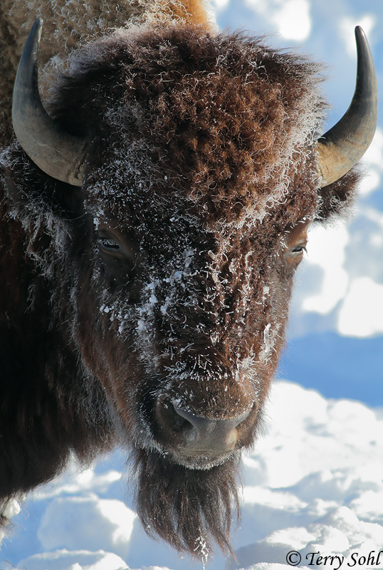 Bison portrait in the snow