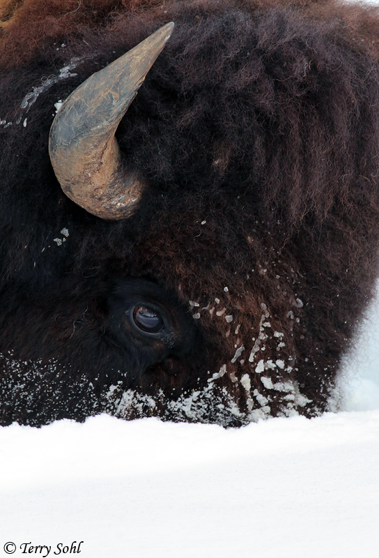 Bull Bison foraging in snow