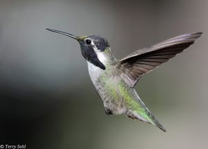 Costa's Hummingbird - Calypte costae