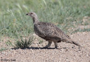 Greater Sage Grouse -- Centrocercus urophasianus